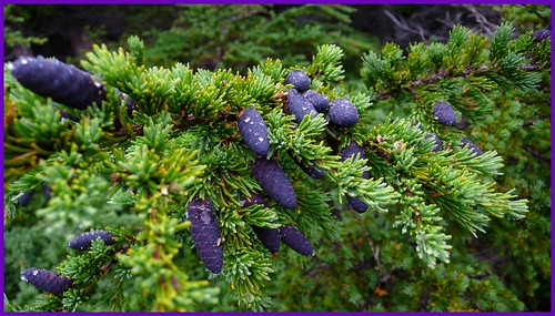Purple spruce cones, Powerline Pass Trail.