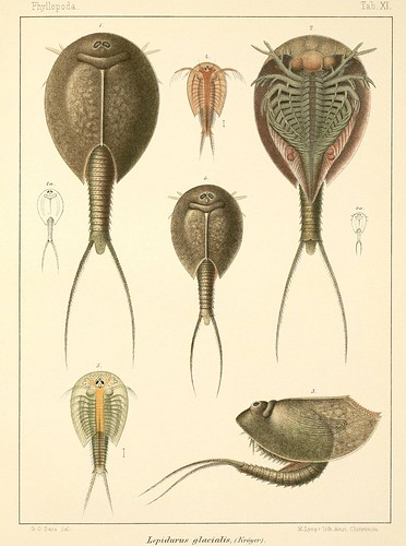 Lepidurus glacialis (plate)