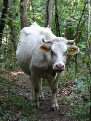 Feral cow blocks the trail, Ripoll, Spain