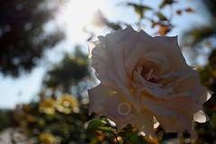 so wake up and smell the flowers today, (ashley rose,) Tags: sky sun tree up leaves sunshine rose garden petals bokeh perspective spots bushes neighbourhood upwards sunflare ashleyrose canonrebelxsi ashleyrosex
