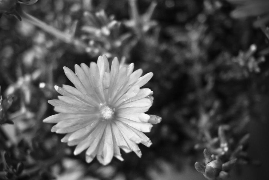 Flores em Preto e Branco