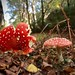 Toad stool - Amanita Muscaria