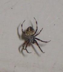 Spider, Spider (JadeRyu) Tags: spider web spiderman porch goldenorbspider 8legs porchsider