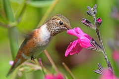 Rufous Hummingbird (janruss) Tags: fab bird bravo hummingbird searchthebest explore hummer defenders avian naturelovers rufoushummingbird naturesfinest specanimal wingedwonders abigfave anawesomeshot colorphotoaward impressedbeauty avianexcellence diamondclassphotographer flickrdiamond overtheexcellence betterthangood theperfectphotographer goldstaraward theenchantedcarousel magicdonkeysbest obq 100commentgroup colorphotoawardbronze colorphotoawardsilver colorphotoawardgold thewonderfulworldofbirds alittlebeauty sublimemasterpiece mdtbmasterpiece janruss janinerussell magicunicornverybest blinkagain bestofblinkwinners blinksuperstars