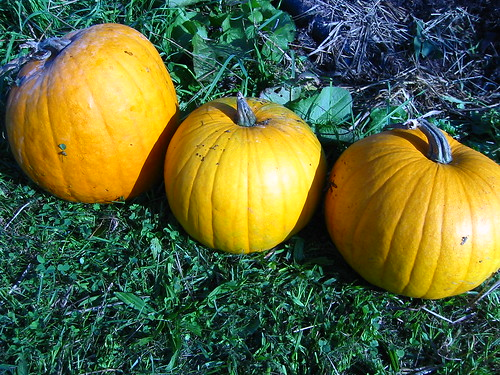 Volunteer pumpkins