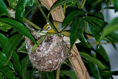 A Silvereye Feeding Chick/s in the Nest (Craig Jewell Photography) Tags: tree bird leaves garden backyard branch nest feeding brisbane telephoto tiny chicks silvereye nesting hatched whiteeye perching lateralis zosterops zosteropslateralis craigjewellphotography