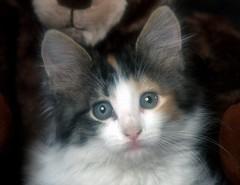 Kitten (Sharp.Shooter) Tags: pets animals cat cutekittens