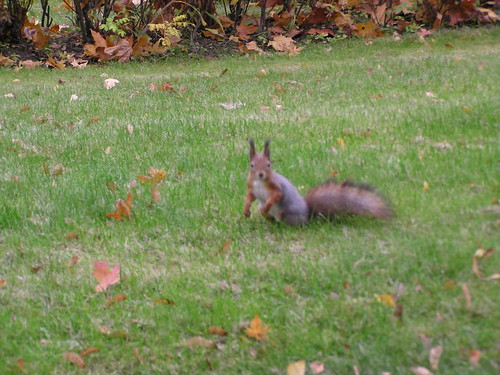 Orava katsoo vinosti kohti nurmella