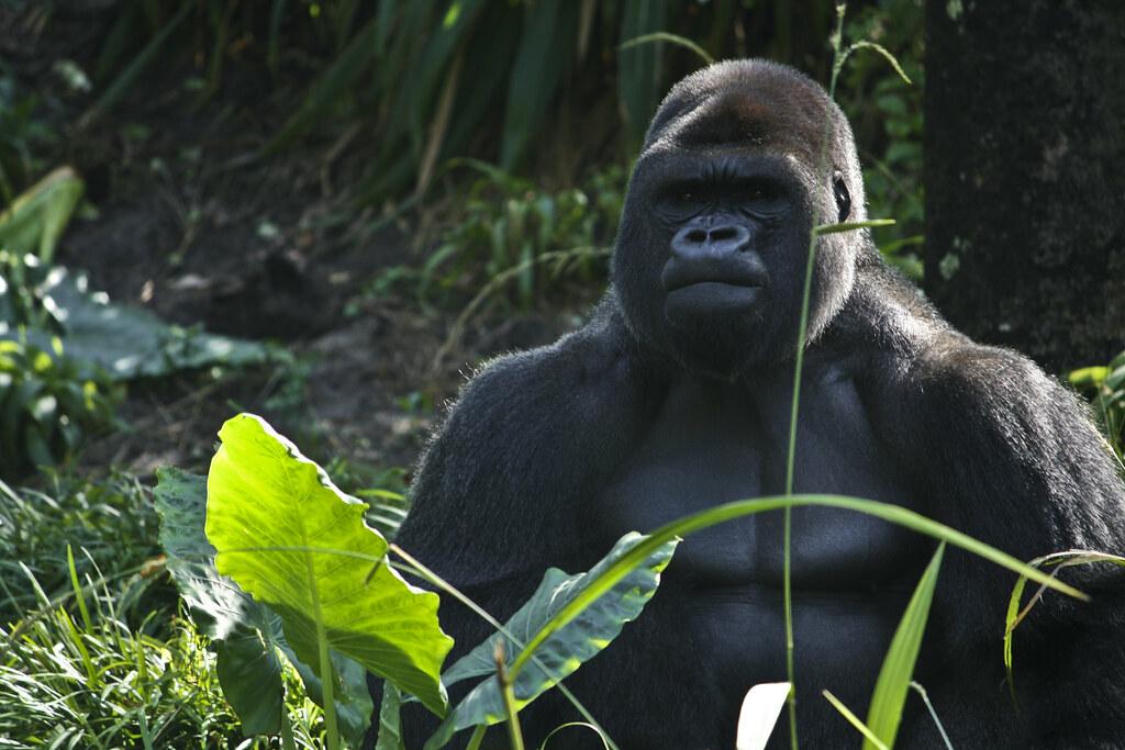 Gorilla-8470
