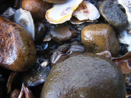 躲起來的瓷蟹 (2)