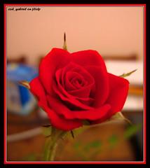 Trandafir roşu