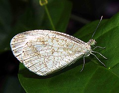 Java butterfly - Leptosia Nina Chlorographa (Mangiwau) Tags: family butterfly insect indonesia asian java name jakarta nina common indonesian breathtaking naturesfinest psych abigfave leptosia wowiekazowie pirina chlorographa