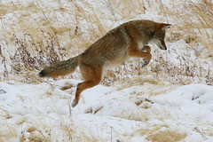 In-Flight (Martin Third) Tags: coyote autumn wild usa snow cold fall nature animal america mammal nationalpark interestingness interesting jump jumping unitedstates wildlife unitedstatesofamerica hunting attack canine canoneos20d explore yellowstonenationalpark northamerica lamar wildanimal yellowstone hunter wyoming predator airborne leap leaping carnivore attacking mousing lamarvalley