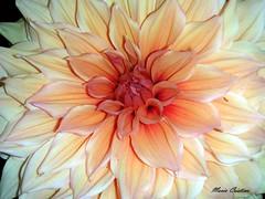 Star!!! (Cristina Bruseghini de Di Maggio) Tags: flores naturesfinest platinumphoto macromarvels excapturemacro excellentsflowers explorewinnersoftheworld