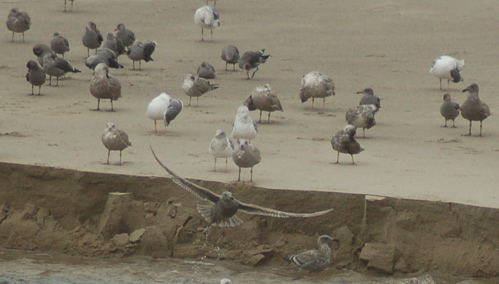 beach_gulls_wings_spread_500x284_enhanced
