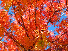 Rohnert park (laurab13) Tags: california autumn color leaves rohnertpark
