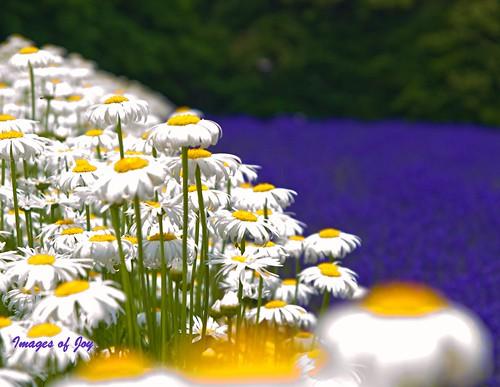 'Glowing' Flower Field