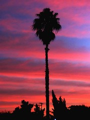 Pink and Blue Sky,  A California Palm TreeClassic (moonjazz) Tags: california eve pink blue light sunset sky sun color tree classic silhouette clouds wonder evening twilight perfect alone sandiego vivid solo refraction tall fading dim bliss awe fronds natue mywinners colorphotoaward colourartaward