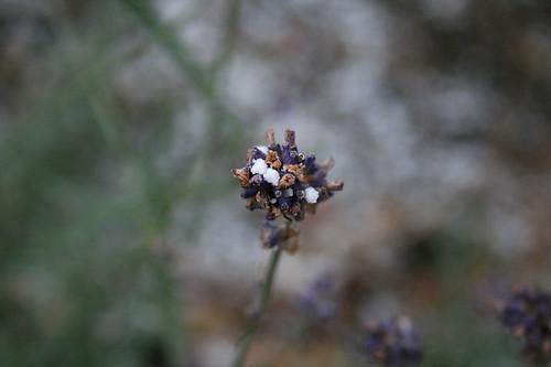 erster schnee lavendel01