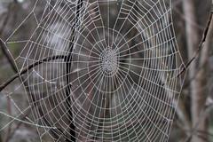 dew web spiral (Gary L Warner) Tags: morning spider bush web arachnid sydney australia structure animalarchitecture