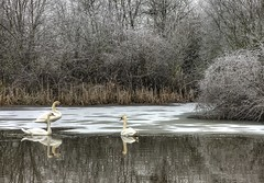 England: Northamptonshire Wetlands. Ice Shelf (Tim Blessed) Tags: uk trees winter water reeds landscapes countryside frozen scenery frost lakes swans wetlands ponds singlerawtonemapped