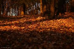 Dear autumn (sunset_k08) Tags: park autumn trees brown nature beautiful leaves japan canon eos tokyo
