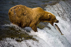Grizzly bear catching fish (wileyimages.com) Tags: nature alaska photography wildlife bears grizzly brooks katmai