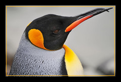 Penguin with crooked beak (Tambako the Jaguar) Tags: portrait orange black bird strange closeup zoo penguin schweiz switzerland nikon funny colorful zurich profile beak handsome special explore frame zrich crooked d300 aplusphoto flickrlovers