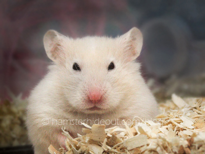Cute Hamster Frowns