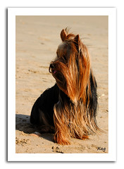 Robi (Moments by Xag) Tags: españa dog yorkshire perro robi castellon oropesadelmar cruzadas xag ltytr2 ltytr1 ltytr3 ltytr4 ltytr5 a3b