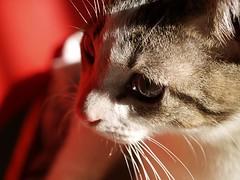 20081218_basilio_037 (Tartanna) Tags: cat gato gat basilio