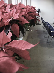 poinsettas at crossroads basel