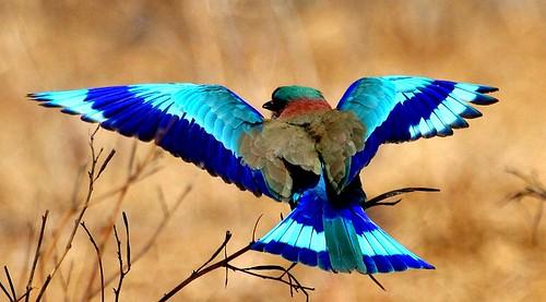 Indian Roller