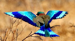 Indian Roller (wild.india) Tags: blue india bird colors beautiful beauty amazing searchthebest wildlife bluejay jade roller bluebird favourite nationalbird rajasthan bharatpur naturesfinest indianroller supershot specanimal platinumphoto impressedbeauty avianexcellence favt 100commentgroup thewonderfulworldofbirds