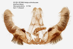 49.158  BF1084 Hedya ochroleucana_M (Patrick Clement.) Tags: moth slide microscope genitalia