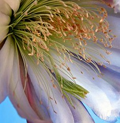 Queen of the Night (Cereus hildmannianus ssp. uruguayanus) - Original = (2724 x 2790) (turdusprosopis) Tags: cactus cacti cactaceae queenofthenight cactos cacto cereus cardones cactis cardn cereusperuvianus cactceas brazilianflowers floraargentina braziliantrees hedgecactus peruvianapplecactus cactoideae cereushildmannianus cereusuruguayanus cactusdeargentina argentinecactus cereushildmannianussubspuruguayanus plantasargentinas plantasdeargentina plantasautctonasargentinas plantasautctonasdelaargentina floraautctonaargentina floraautctonadeargentina plantasnativasargentinas plantasnativasdeargentina plantasnativasdelaargentina uruguayflora plantasdeluruguay floradelaargentina floradeargentina plantasnativasdeuruguay plantasnativasuruguayas plantasautctonasdeargentina floraautctonadelaargentina plantasdobrasil floranativabrasileira floradobrasil cactusargentinos cactusdelaargentina cactusuruguayos cactusdeluruguay cactusdeuruguay cactceasargentinas plantasnativasdobrasil plantasnativasbrasileiras plantasnativasdoriograndedosul argentineflowers argentineplants argentineindigenousplants plantasnativasdeentreros argentinascactus cactusofargentina argentineindigenousflowers argentinetrees argentineflora cactceasdeargentina cactceasdelaargentina cactceasdeluruguay cactceasuruguayas brazilsflowers cactales cereussp cardndelrouruguay cereushildmannianussspuruguayanus cereushildmannianussubespuruguayanus cereushildmannianussubespecieuruguayanus cardndeluruguay