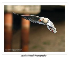 Brown Headed Gull (Saud A Faisal) Tags: color bird river boat seagull dhaka bangladesh tarminal olddhaka buriganga brownheadedgull burigonga shadarghat keranigong gangkobutor