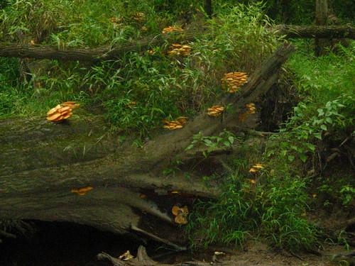 Jackolantern fungus