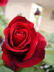 Finest of Roses (Hopaki) Tags: red flower rose flora passion naturelovers anuniverseofflowers