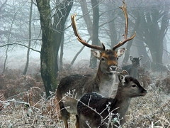 Chase Winter Deer (johnmuk) Tags: winter nature december deer cannock chase engand 2008 staffordshire naturewatcher