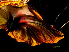 Drama Queen Hibiscus (Kurlylox1) Tags: lighting flower golden petals dramaqueen edited dramatic conservatory hibiscus greenhouse bloom underneath botanicalgarden flowerpower blueribbonwinner fifthdimension usbotanicalgarden thepoweroftheflower