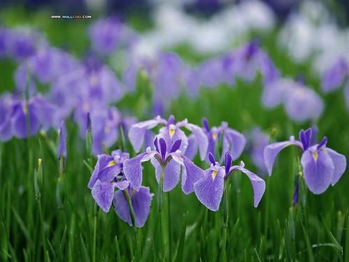 purple flower wallpaper. Purple flowers wallpaper