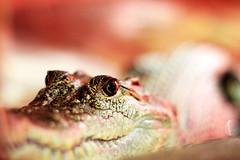 c u later ... (Anita MW) Tags: 50mm reptile alligator crocodile mydaytoday australianreptilepark
