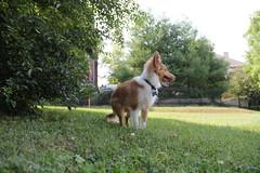 IMG_2257 (presidentreagan1796) Tags: dog cute beautiful puppy outside nashville sheltie cutie bullet