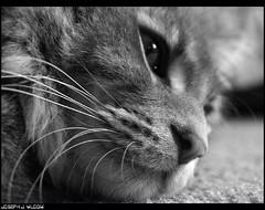 (lunarhypnosis) Tags: bw cats felines