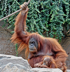 Mum, look at those hairless apes !!! (Dieter Mler) Tags: germany orangutans ar1 theunforgettablepictures hagenbeckstierparkhamburg lenscraft sigma505004063exapohsmrf