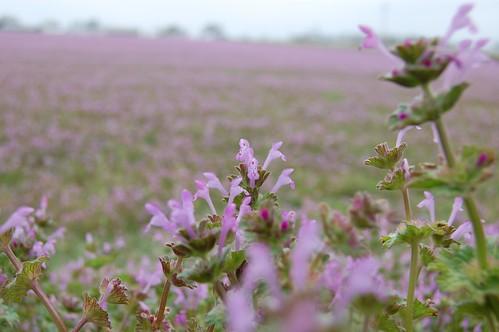 purple_field_03