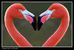 Flamingo Heart ( Pere Soler) Tags: love nature heart amor flamingo cor flamenco corazon naturesfinest allrightsreserved megashot braid44 peresoler
