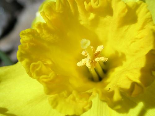 daffodil 28