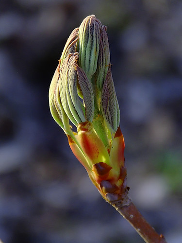 Rockwoods Reservation, in Saint Louis County, Missouri, USA - budding leaves